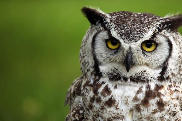 Singing Owls